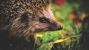 Plant a hedge, help a hog!